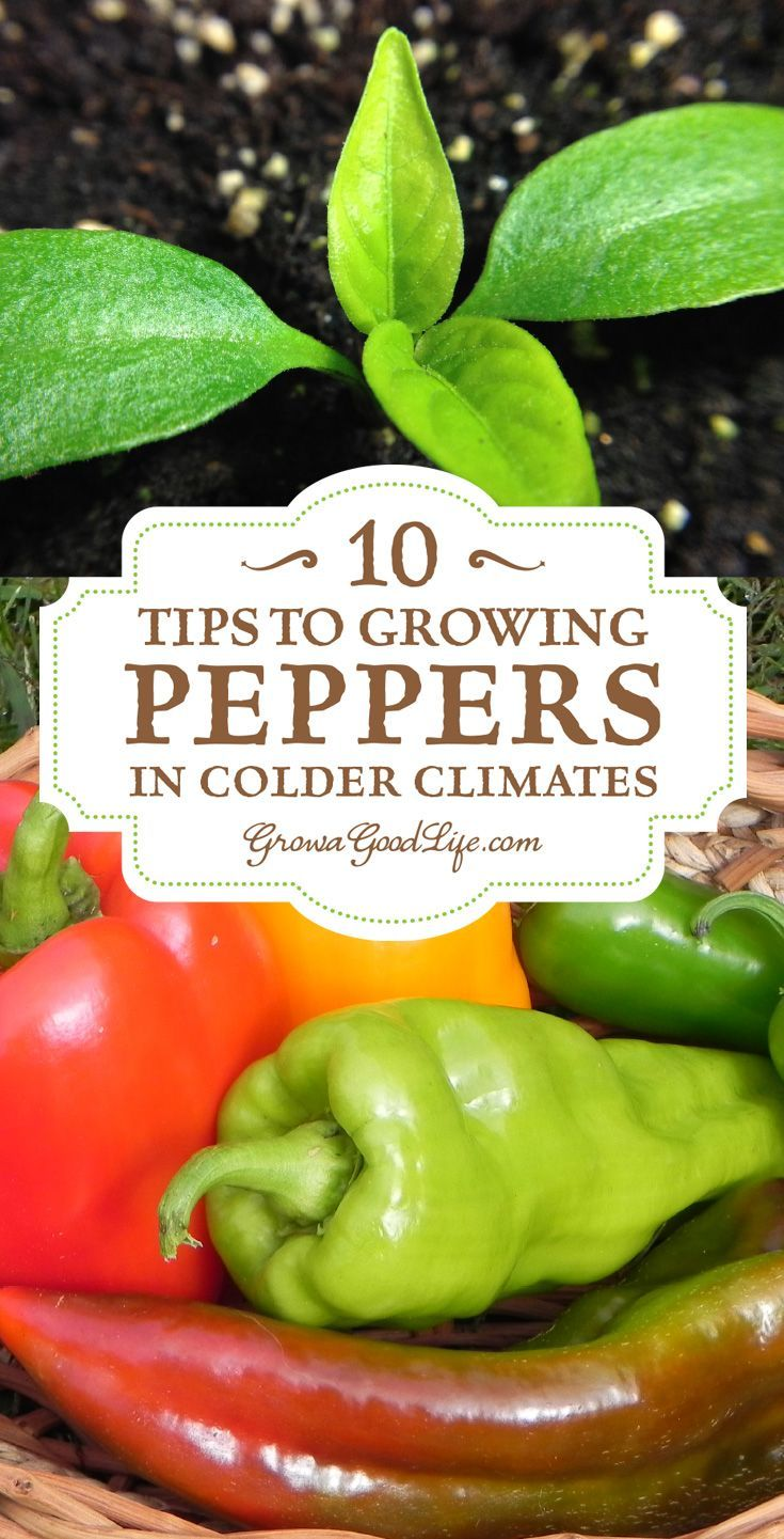 Growing peppers is possible even if you are in cooler climates. The key is to…