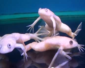 Picture of Albino African Clawed Frog. I want one.