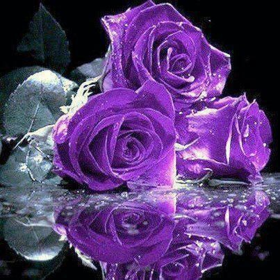 17 best images about Purple Rose .... Favorite Rose on Pinterest ...