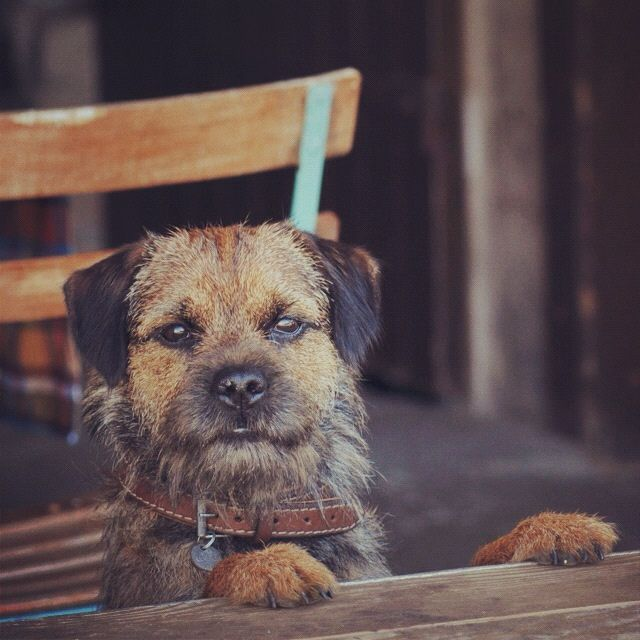 Chewie the Border Terrier | by Exer6 on Flickr