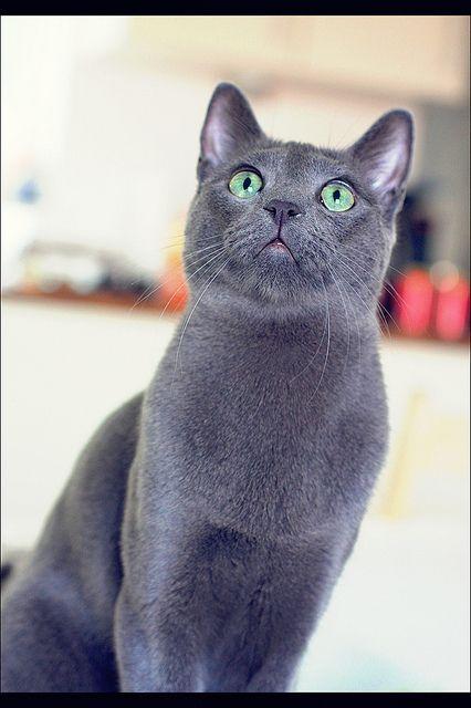 Gato azul Russo - Pesquisa Google