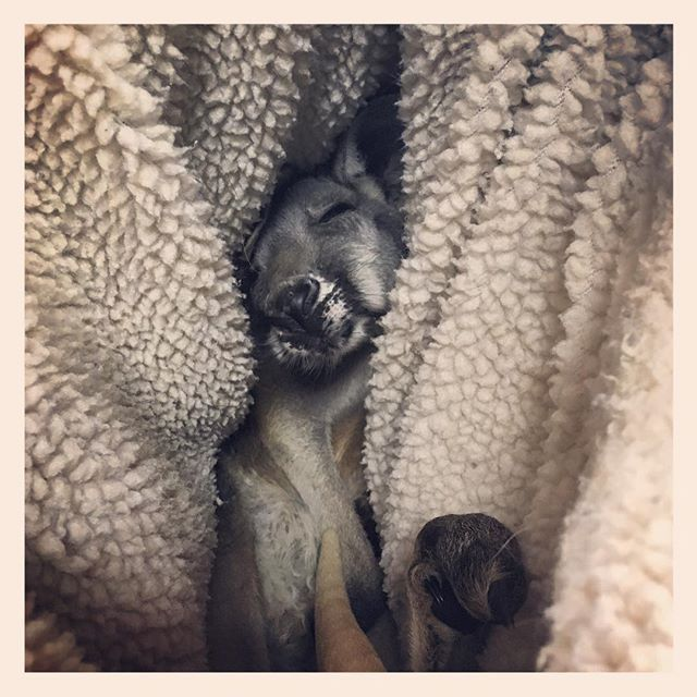 The most precious face in the world! #joey #kangaroo #mydayinla #workperks #eventprofs #eventlife by lovepudge.  joey #boopmynose #eventprofs #kangaroo #mydayinla #eventlife #workperks