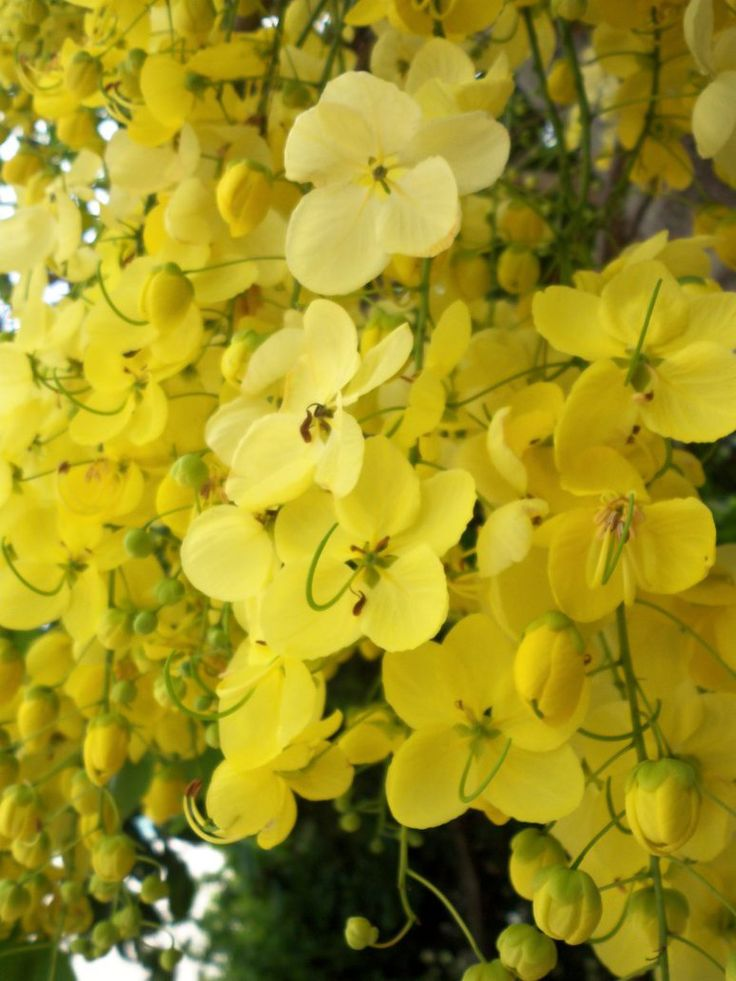 Golden shower tree - I took this photo in Mauritius in December 2014