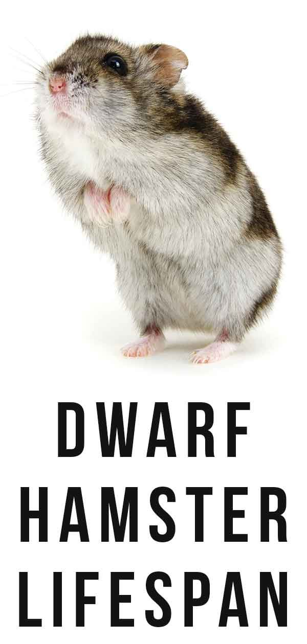 Dwarf hamster lifespan | Hamster | Hamster live, Baby