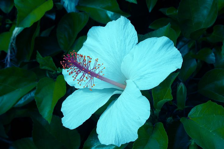 "Hibiscus 'cajun blue' (hibiscus rosa-sinensis hybrid) the delicate, pale lavender-blue 6"" blooms complement the dark green glossy leaves of this upright hibiscus. Description from downloadtemplates.us. I searched for this on bing.com/images"