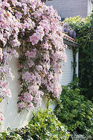 White wall with Clematis montana in spring