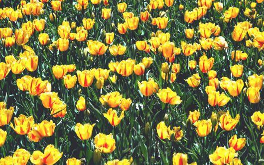 Класс 4. Дарвиновы гибриды. Выделены в отдельный класс в I960 г. Растения этого класса отличаются очень крупными размерами: в высоту они достигают 60—80 см, а диаметр цветков некоторых сортов может превышать 10 см. Тюльпаны этого класса имеют крупные бокаловидные цветы, преимущественно красного цвета, но в настоящее время их вытесняют сорта с двухцветной окраской. Фиолетовые тона в окраске этих тюльпанов отсутствуют. Цветут Дарвиновы гибриды в начале мая.