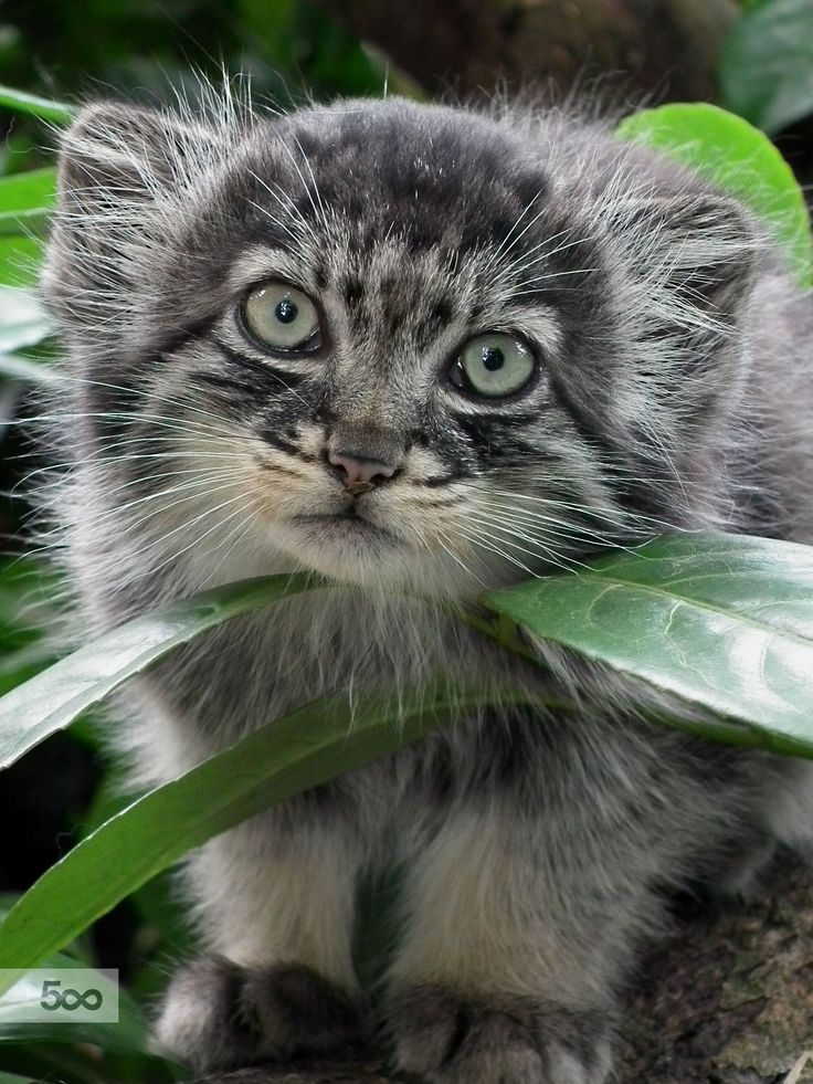 A young Pallas Cat kitten stalking me through the bushes