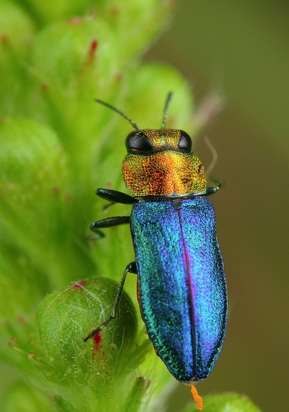 29 best images about Insects on Pinterest | Blue beetle ...