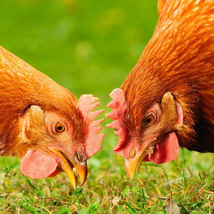 """Un allevatore sta ammirando compiaciuto il proprio allevamento di galline all'aria aperta.  Ad un certo punto si avvicina un tipo distinto e gli chiede: - """"Belli i suoi polli, cosa...."""