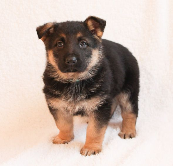 Reble A Male Akc German Shepherd Puppy For Sale In Grabill