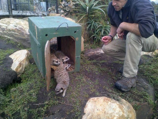 """""""Charlie"""" finally being released into our """"Meerkat Meander"""" after a few weeks of being introduced to the mob. """"Charlie"""" was a meerkat that was rescued near Addo on the 18 May 2013. To view all our current patients , please visit www.tenikwa.org"""