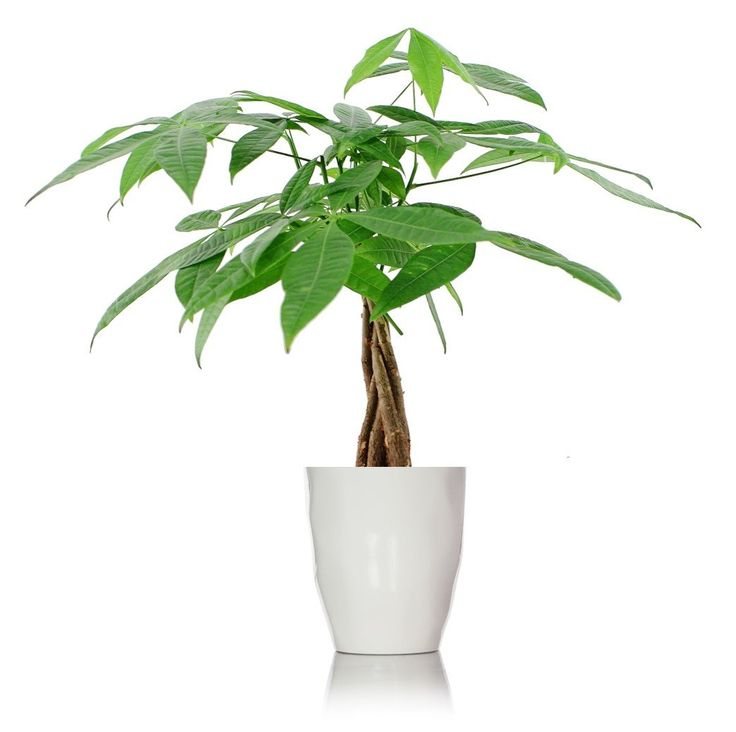 Pure Luck Money Tree Plant