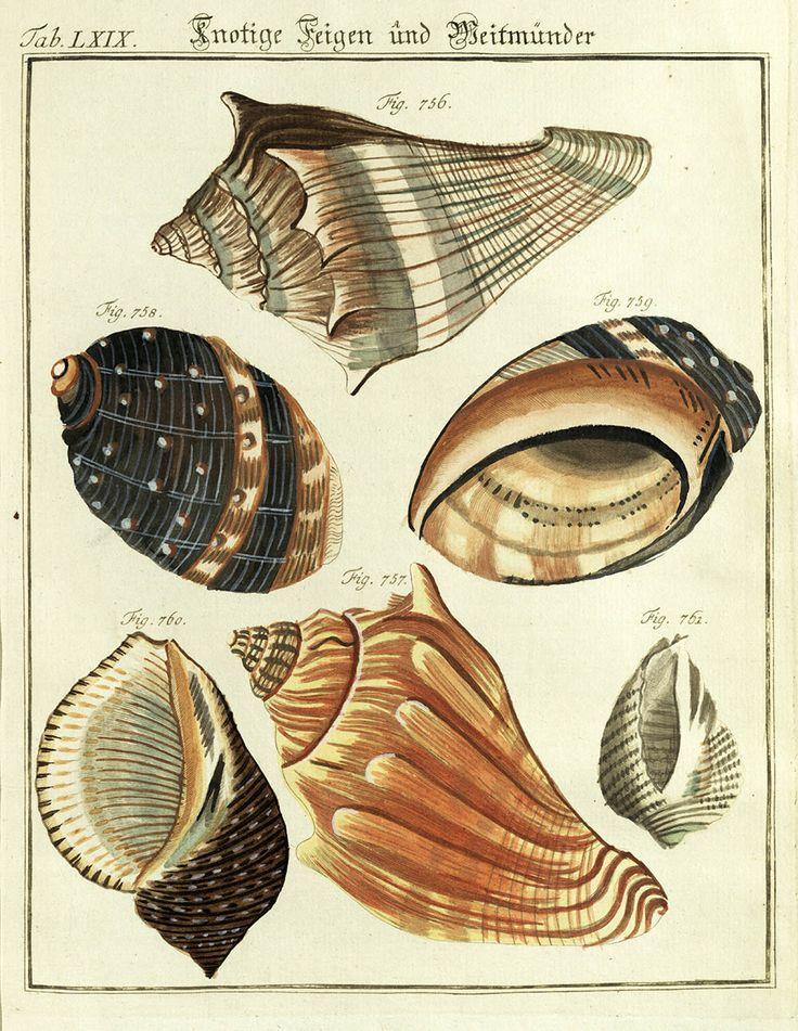#conchiglie #mare #illustrazione #natura #scienze