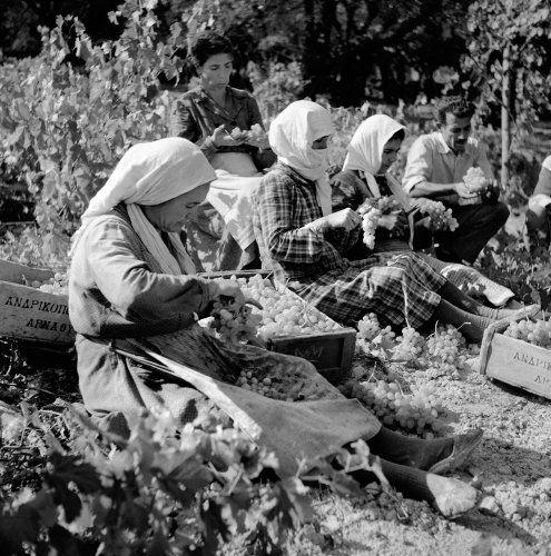 Τρύγος. Κρήτη, 1950-1955 Βούλα Θεοχάρη Παπαϊωάννου