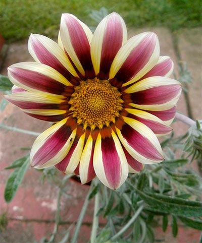 Gazania Flores Fotografia Amor Flores Flores Bonitas