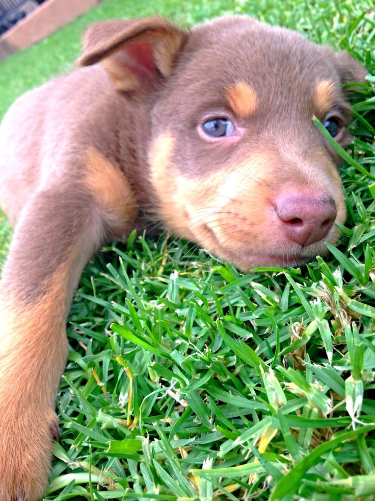 For my iggy...kelpie cross / collie...oh how shes grown..she looked just like this. Still beautiful x we'd be lost without her