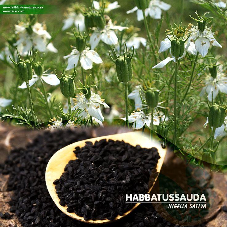 Jintan hitam / Habbatussauda Jintan hitam atau Habbatussauda (Nigella sativa Linn.) adalah rempah-rempah yang dapat digunakan…