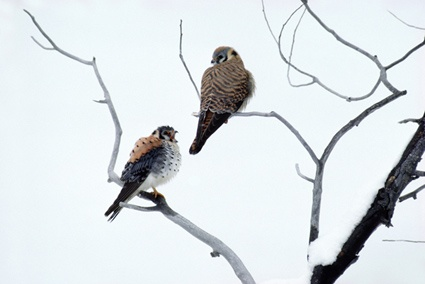 American Kestrels by Thomas Mangelsen. THIS ITEM IS FOR ...