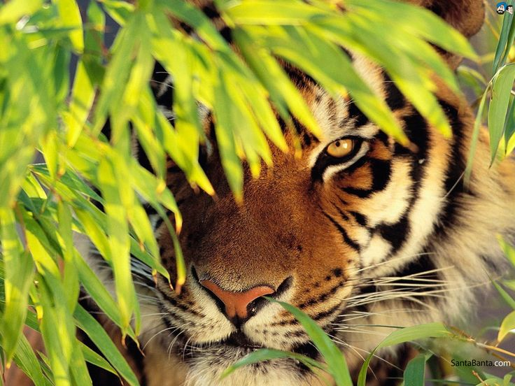 How to Survive a Tiger Attack - Survival Mentor