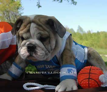 Bull atleta.