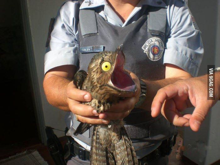 This is a potoo. He showed up at my neighbor's house and the enviromental police rescued him back into the wilderness