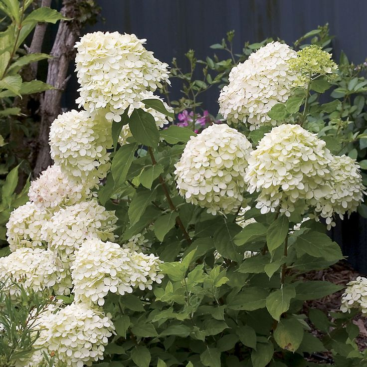 25 best ideas about little lime hydrangea on pinterest - What is lime used for in gardening ...