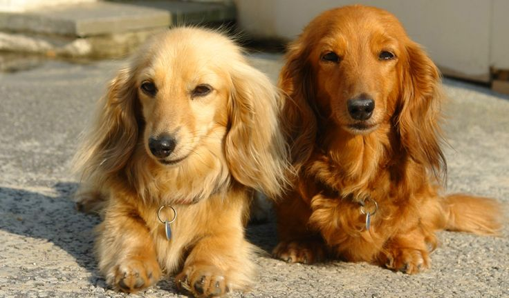 The long-haired Dachshunds shed a moderate amount when compared to the short-haired and the wire-haired ones. Description from bunkblog.net. I searched for this on bing.com/images