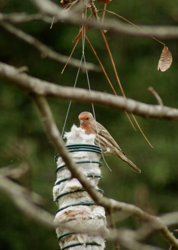 Put your dryer lint out for birds to collect and use in their nests.