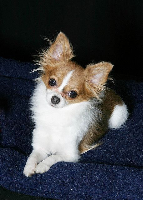 Long Haired Teacup Chihuahua #Chihuahua