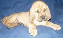 Bloodhounds - Love the ears! kayteeharris