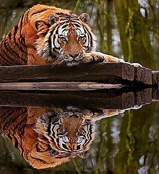 #Tiger relaxing on warm day with head on front paws and #reflection in water #eyes #beauty #beautiful #creative #create #photography #purestock #nature #animals #animalportraits #love #color