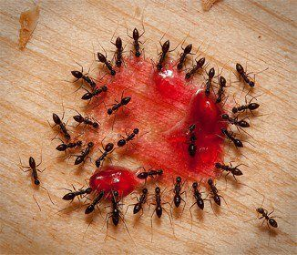 Mix two tablespoons of borax with jam, jelly, honey or syrup until there is a paste. Smear some on some paper or a plate and put it where the ants are at. They should flock to it and eat it and take it back to the nest and it will act as a natural ant killer.