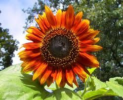 Google Image Result for http://upload.wikimedia.org/wikipedia/en/7/77/Red_sunflower.jpg..small for bouquets, large for big