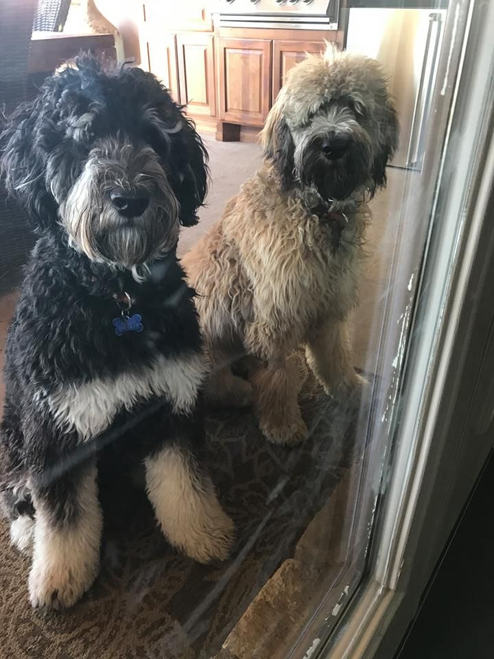 Teddy And Murphy Phantom And Sable English Goldendoodles From Moss
