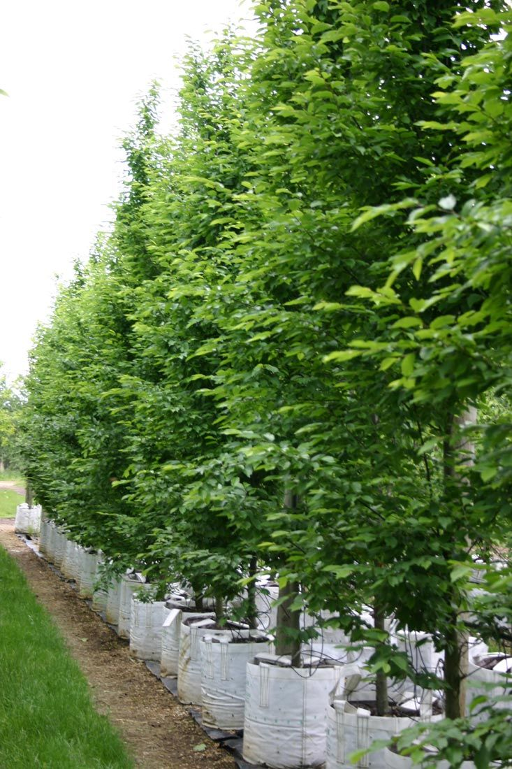 Carpinus Betulus Hornbeam Fastigiata Privacy Hedge