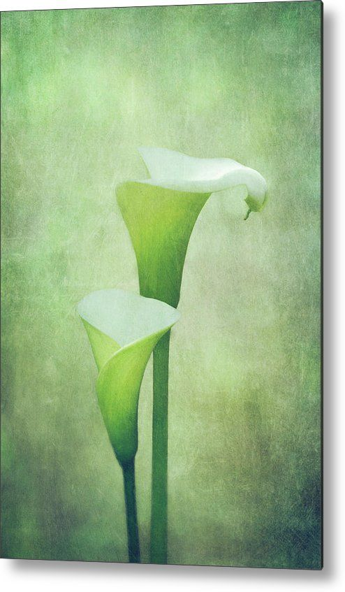 'Peace' - two white calla lilies by Margaret Goodwin
