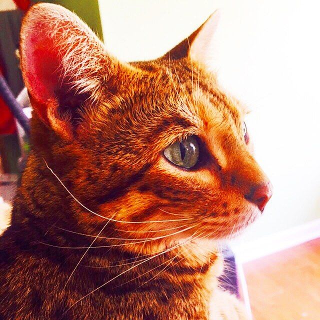 #savannahcat  #cat  #wildcat  #pet #myfamily  #gorgeous  #love  #ilovemylife  #like4like  #lifestyle  #happy  #サバンナキャット  #愛猫 #ワイルドキャット  #ペット #猫 #家族 #ゴージャス #ハッピー  #ライフスタイル #海外生活  #アメリカ #猫好き