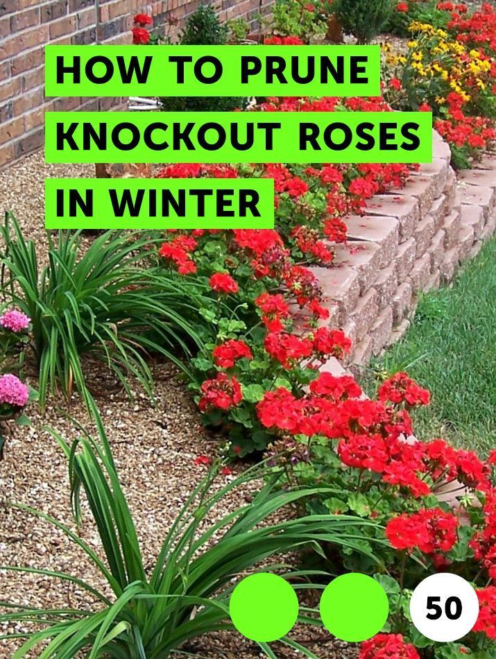How To Prune Knockout Roses In Winter If You Live In A Warm Climate Or In Zones 8 Through 11 You Can Prune Your Knockout Ro Plants Knockout Roses Plant Pests