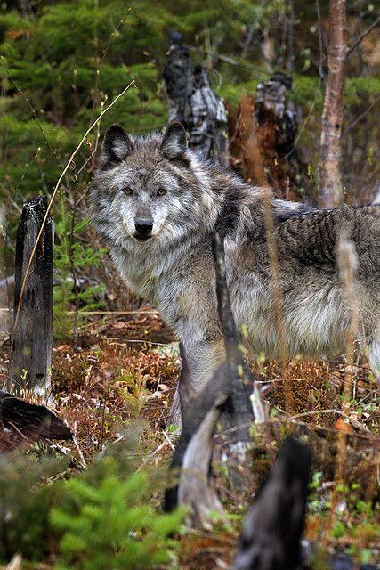 wolf near yoho national park, canada | animal + wildlife photography #wolves
