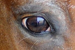 Dr. Sharon Spier, U.C. Davis, Calif., explains the horses' vision.