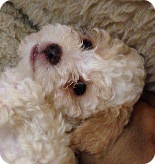 La Mirada, CA - Goldendoodle. Meet Jolly a Puppy for Adoption.