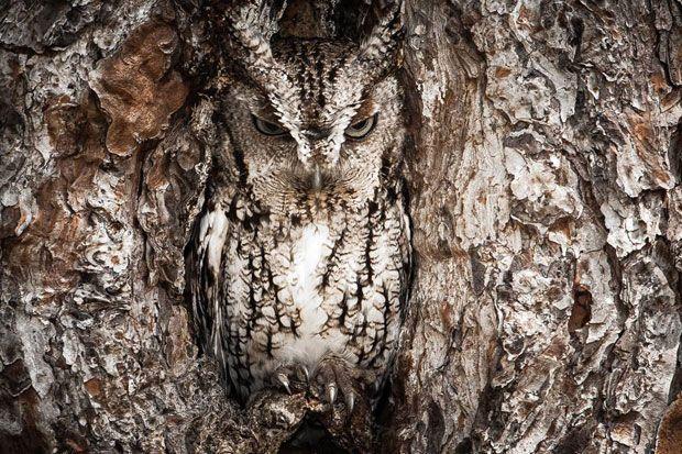 Camuflajul este unul dintre multele talente ale bufnitelor, iar pentru a le fotografia in zona Okefenokee Swamp din Georgia, fotograful Graham McGeorge a trebuit sa fie extrem de atent. A reusit sa...