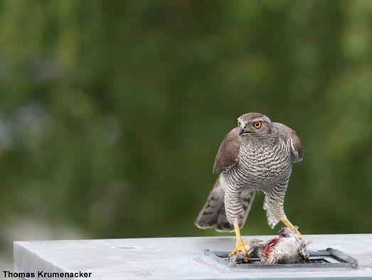 L'Autour des palombes devient urbain | Photographie de Thomas Krumenacker (www.krumenacker.de) : un Autour des palombes (Accipiter gentilis) femelle mangeant sa proie sur un toit de Berlin. #ornithologie #oiseaux #nature #rapace #pigeon