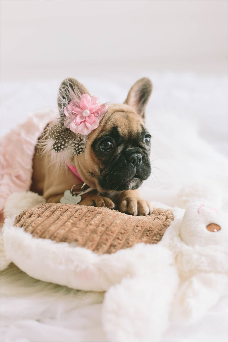 Frenchie newborn puppy photo-shoot, French bulldog