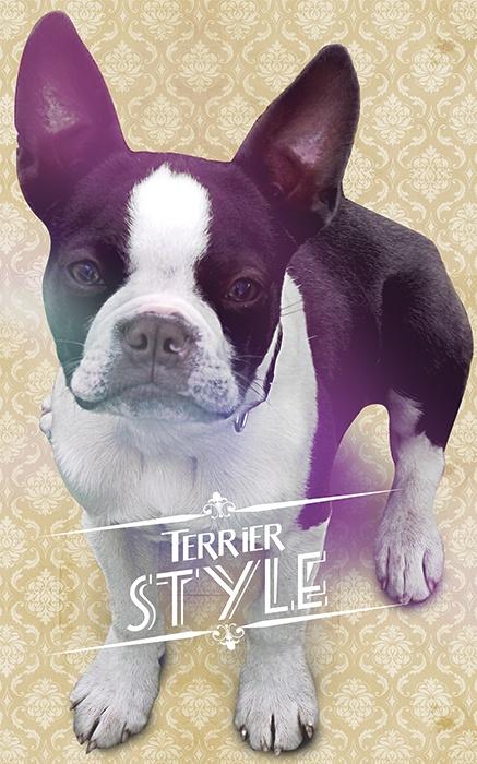 Boston Terrier , Diseño / Fotomontage
