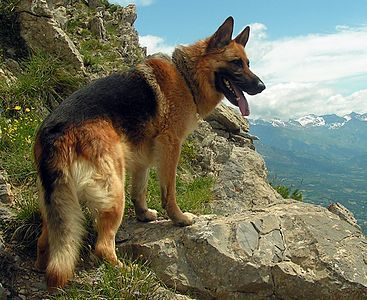 German Shepherd - Wikipedia The German Shepherd is a breed of medium to large-sized working dog that originated in Germany. The breed's officially recognized name is German Shepherd Dog in the English language. The breed is also known as the Alsatian in Britain and Ireland.