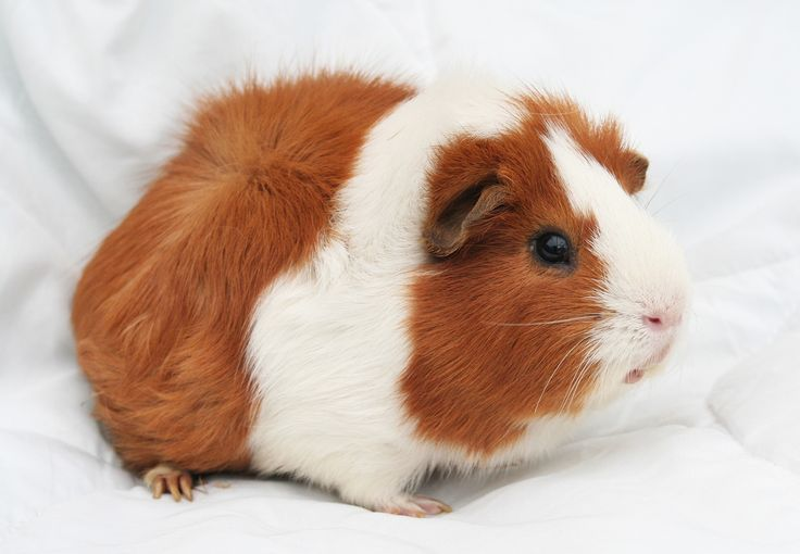 SIKANTISPETS: What you need to know before adopting guinea pigs! Read more!
