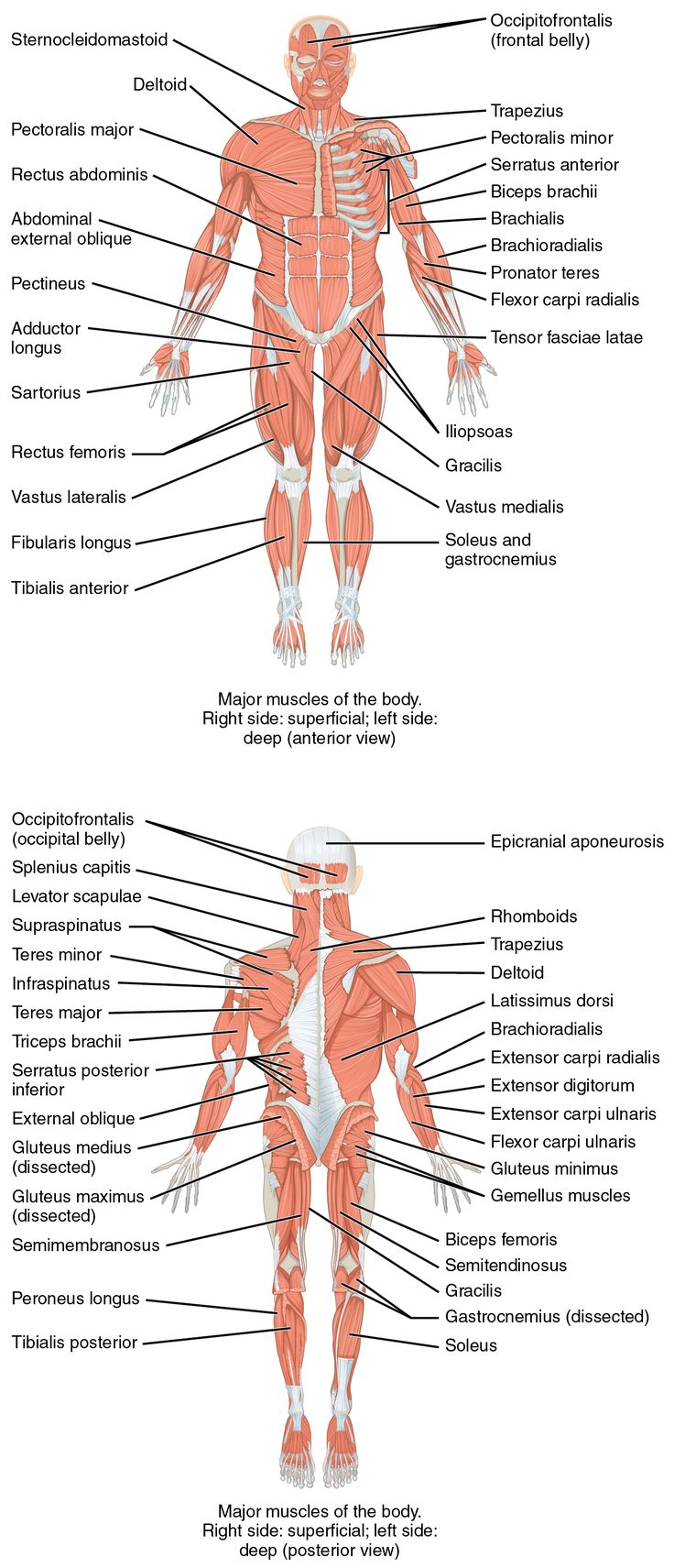 Ligiment Map Body