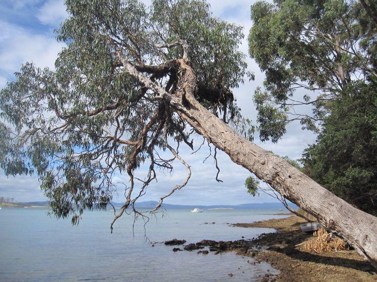 Majestic tree Susans Bay